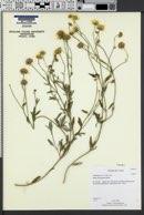 Bahia absinthifolia image
