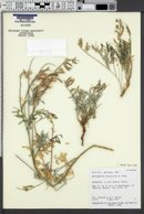 Astragalus arizonicus image