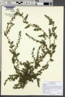 Polygonum aviculare subsp. aviculare image