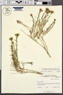 Chrysothamnus viscidiflorus subsp. puberulus image