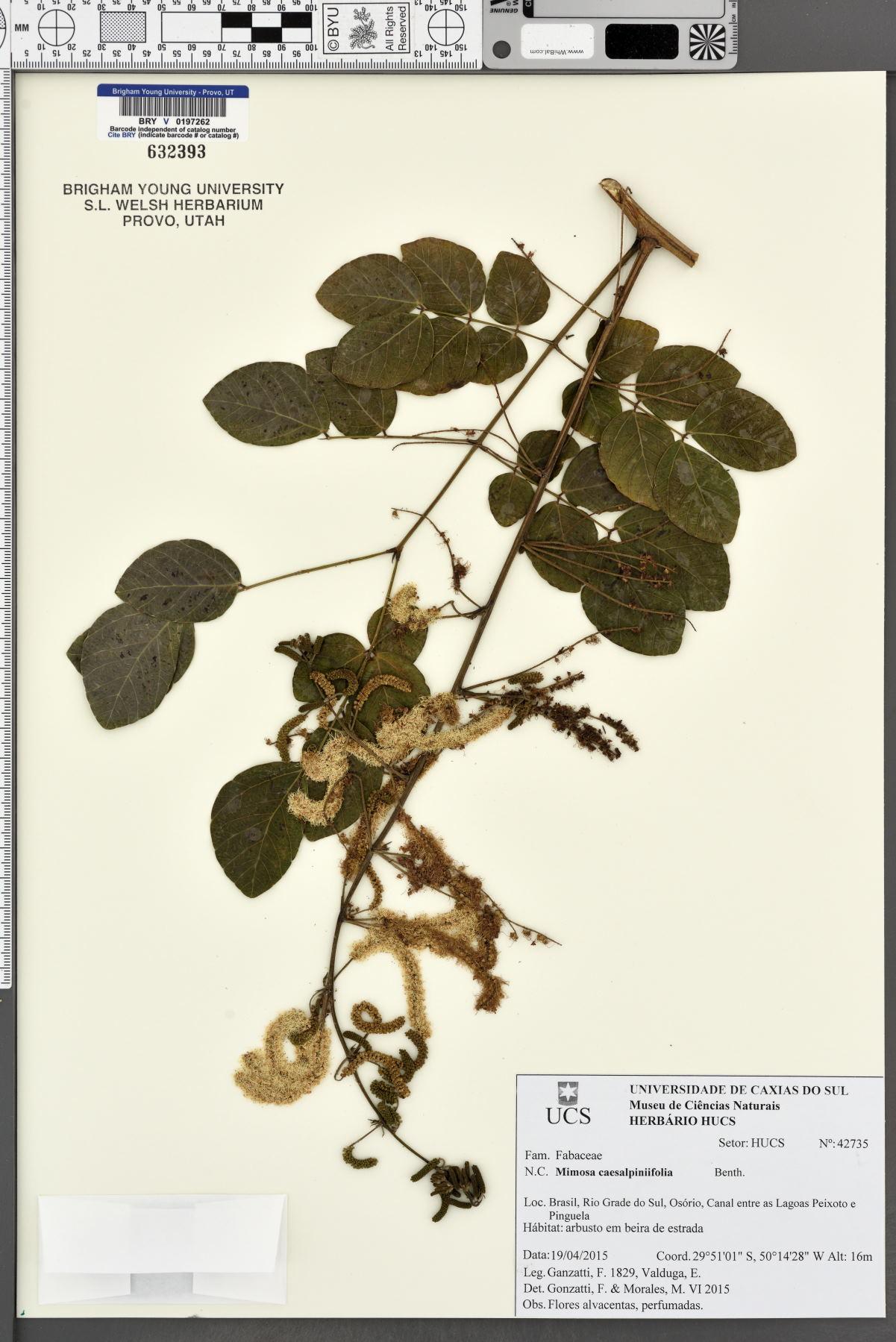 Mimosa caesalpiniifolia image
