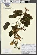Image of Mimosa caesalpiniifolia