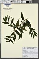 Image of Solanum hirtellum