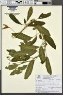 Image of Solanum muricatum