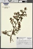 Image of Mimosa ramosissima