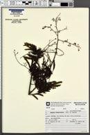 Image of Mimosa bimucronata