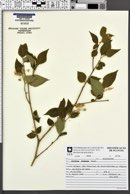 Solanum didymum image