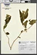 Image of Solanum didymum