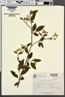 Image of Solanum ramulosum