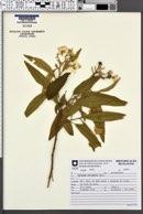 Solanum variabile image
