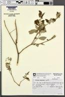 Solanum ramulosum image