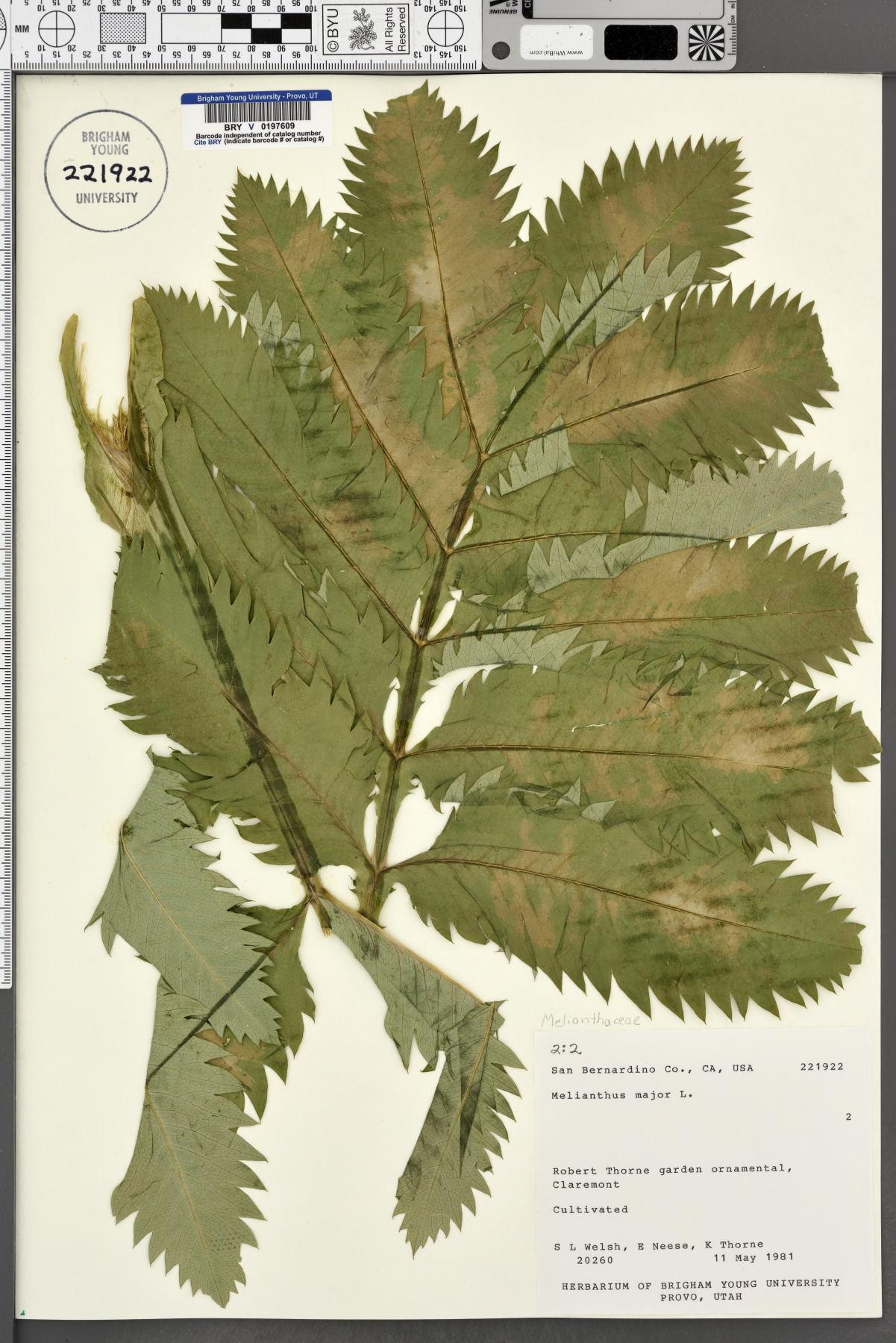 Melianthus image
