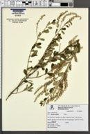 Aloysia gratissima var. gratissima image