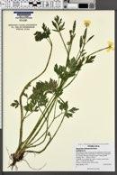 Image of Ranunculus orthorhynchus