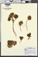 Townsendia montana image