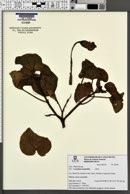 Craniolaria integrifolia image
