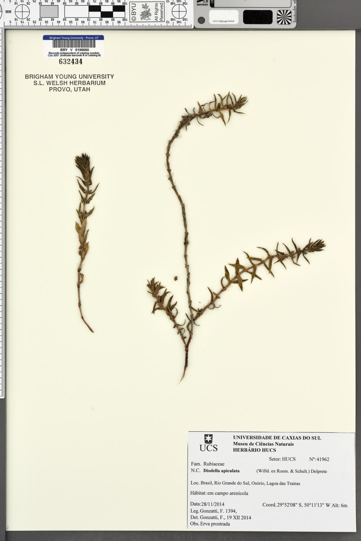 Diodella apiculata image