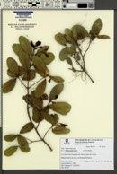 Sloanea guianensis image