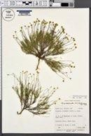 Thymophylla pentachaeta image