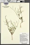 Boerhavia coulteri image