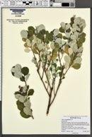 Vitex rotundifolia image