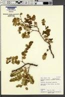 Image of Euphorbia degeneri