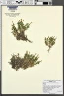 Linanthus watsonii image