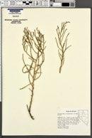 Allenrolfea occidentalis image