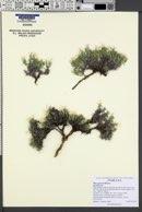 Phlox griseola image