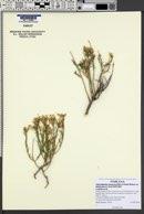 Ericameria nauseosa var. leiosperma image