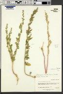 Chenopodium berlandieri var. berlandieri image