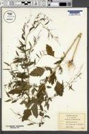 Chenopodium boscianum image