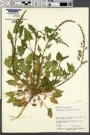 Chenopodium capitatum var. parvicapitatum image