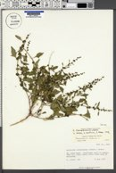 Oxybasis chenopodioides image