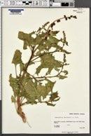 Blitum capitatum image