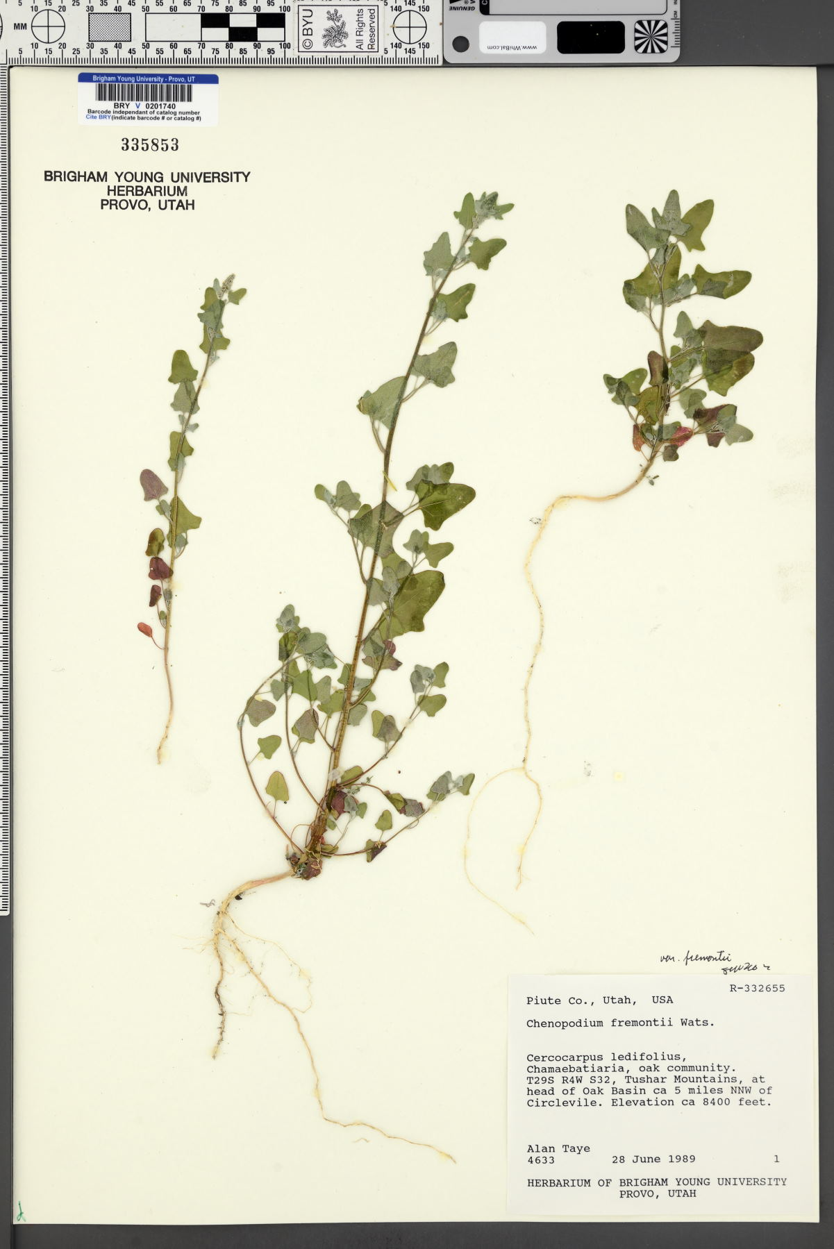 Chenopodium fremontii var. fremontii image