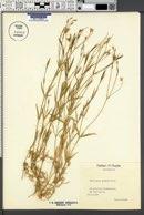 Image of Stellaria glauca