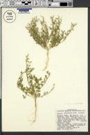 Chenopodium incanum image