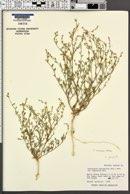 Chenopodium leptophyllum var. subglabrum image