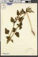 Image of Chenopodium hircinum
