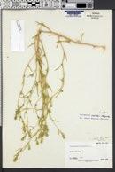Corispermum welshii image