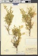 Grayia spinosa image