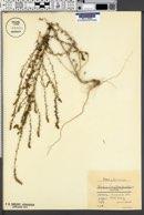 Image of Bassia laniflora