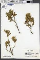 Image of Cistus albidus