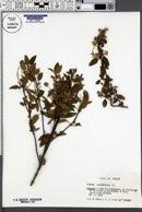 Cistus salvifolius image