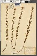 Helianthemum bicknellii image