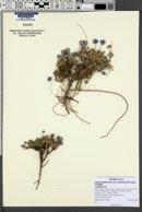 Erigeron concinnus var. condensatus image