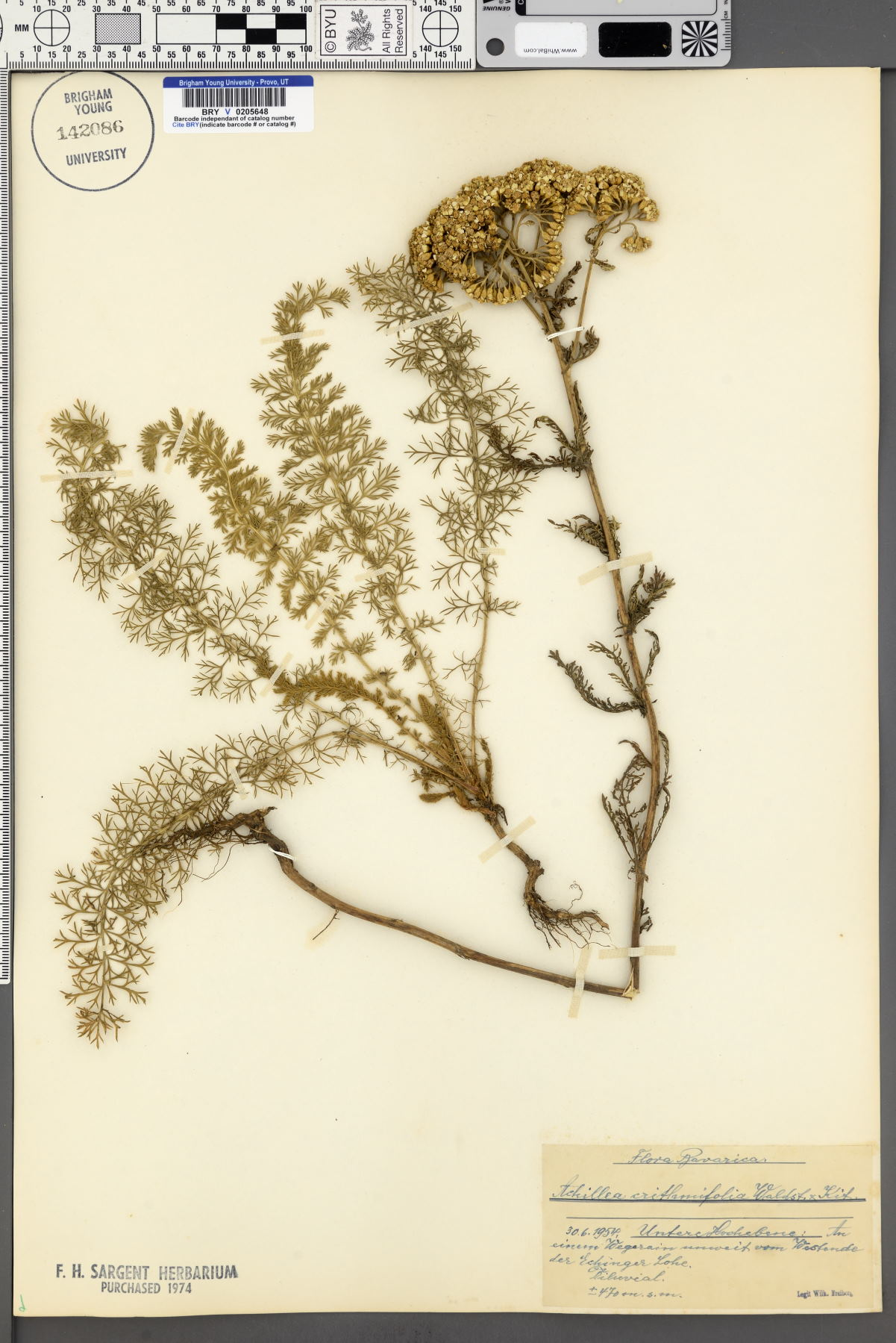 Achillea crithmifolia image