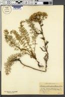 Image of Achillea crithmifolia