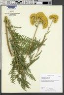 Achillea filipendulina image